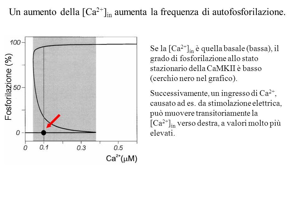 Un aumento della [Ca2+]in aumenta la frequenza di autofosforilazione.